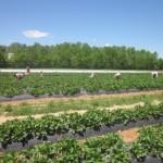 In season now: U-pick farms Greenville!